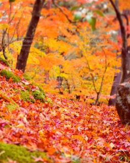 落ち葉の絨毯の写真・画像素材[896204]