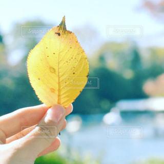 黄色く紅葉した桜の葉を持っている手の写真・画像素材[898321]