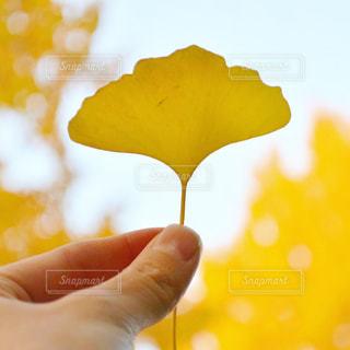 イチョウの葉っぱを持つの写真・画像素材[912679]