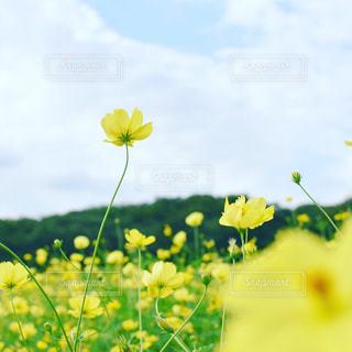 幸せの黄色いコスモスの写真・画像素材[1520039]