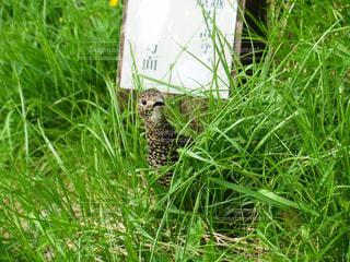 芝生のフィールドの上に座って鳥の写真・画像素材[897942]