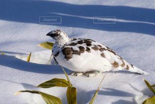 雪の上に座っている鳥の写真・画像素材[897980]