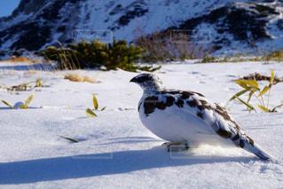 雪の中で立っている鳥 - No.897981
