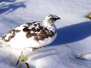 雪の上の鳥の写真・画像素材[897982]