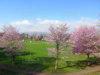 芝生広場の大きな木の写真・画像素材[901244]