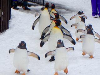 雪の中のペンギンの写真・画像素材[901256]