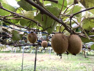 近くに果物の木のアップの写真・画像素材[906758]