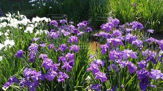 紫色の花一杯の花瓶の写真・画像素材[1265582]