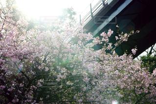 河津桜の写真・画像素材[1025370]