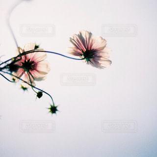 秋桜の写真・画像素材[997348]