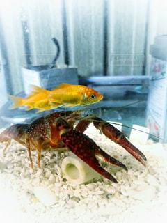 金魚とザリガニの写真・画像素材[1663764]