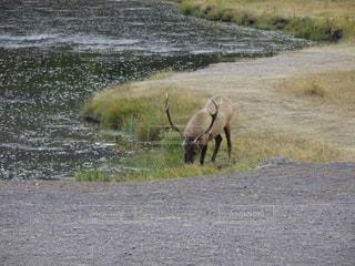 イエローストーン国立公園の鹿の写真・画像素材[896290]
