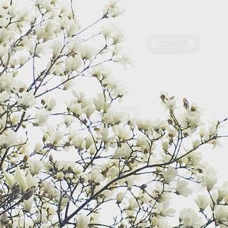 白いの花のグループの写真・画像素材[896373]