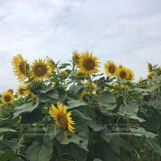 太陽の花の写真・画像素材[997886]