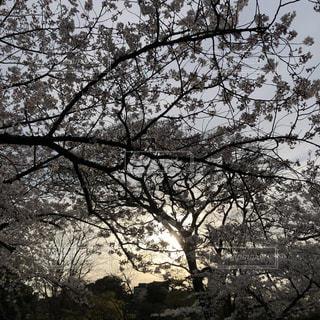 桜と夕日の写真・画像素材[2095795]