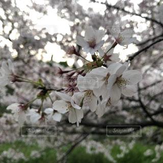 桜まつりの写真・画像素材[2095801]