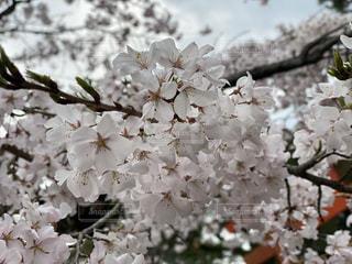 桜の写真・画像素材[3433679]