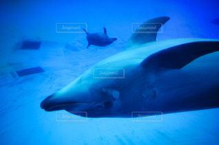 優雅に泳ぐイルカの写真・画像素材[897454]