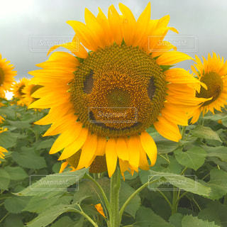黄色の花の写真・画像素材[898208]