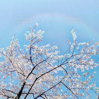 虹とさくらの写真・画像素材[2010505]