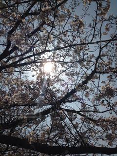 桜の木の下での写真・画像素材[898219]