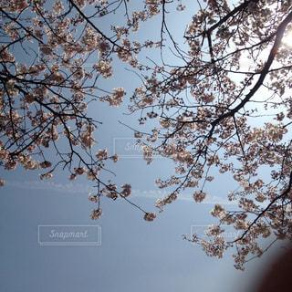 お花見の写真・画像素材[898220]