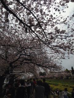 佐奈川沿いの桜並木の写真・画像素材[899526]