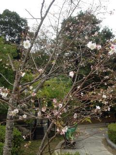 季節外れの桜🌸の写真・画像素材[1533346]