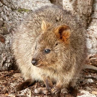 オーストラリアの島で餌を探す野生のクォッカ(ワラビーの仲間)の写真・画像素材[899165]