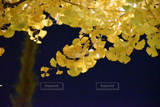 イチョウの写真・画像素材[910647]