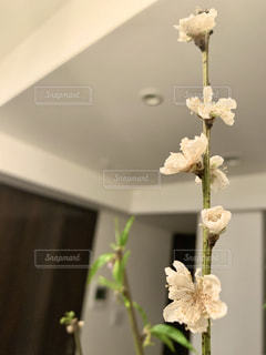 お花見@お家の写真・画像素材[3006539]