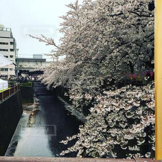 目黒川の桜の写真・画像素材[899641]