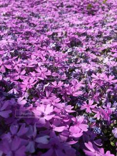 植物の紫色の花の写真・画像素材[904437]