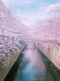 桜の季節の写真・画像素材[1086267]