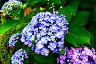 紫陽花狩りの写真・画像素材[900959]