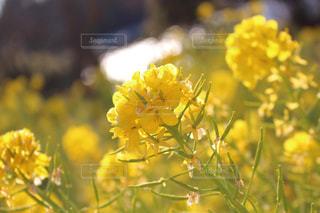 菜の花 - No.901020
