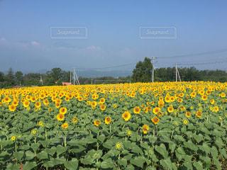 フィールド内の黄色の花の写真・画像素材[901101]