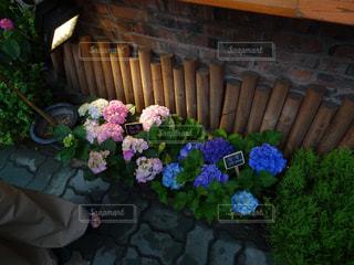 雨の紫陽花の写真・画像素材[901522]