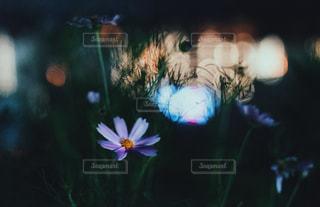 夜の秋桜と川の写真・画像素材[901564]