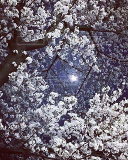 夜桜螺旋階段の写真・画像素材[1093034]