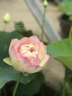 近くに緑の葉とピンクの花のアップの写真・画像素材[905513]