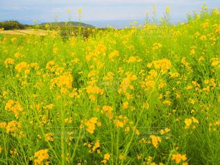 黄色の花の写真・画像素材[903627]