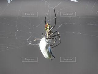 蜘蛛の捕食の写真・画像素材[902617]