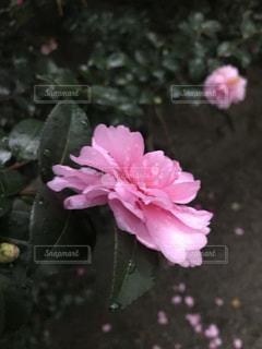 近くの花のアップの写真・画像素材[903420]