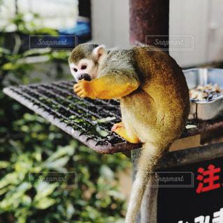 サルのお尻の正体の写真・画像素材[903200]