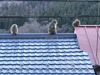 猿の写真・画像素材[997635]