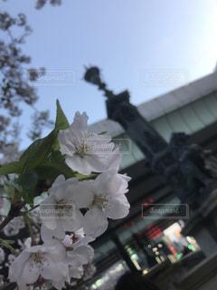 春の日本橋の写真・画像素材[1007304]