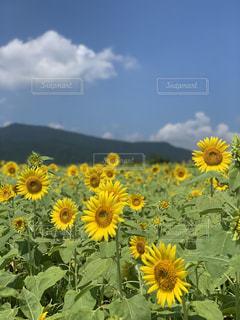 丹生のひまわり畑の写真・画像素材[2336151]