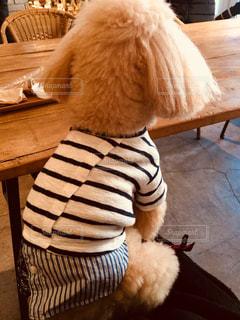 木製の椅子の上に座っているトイプーの写真・画像素材[911101]