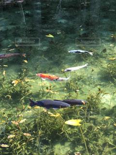 モネの池の写真・画像素材[904897]